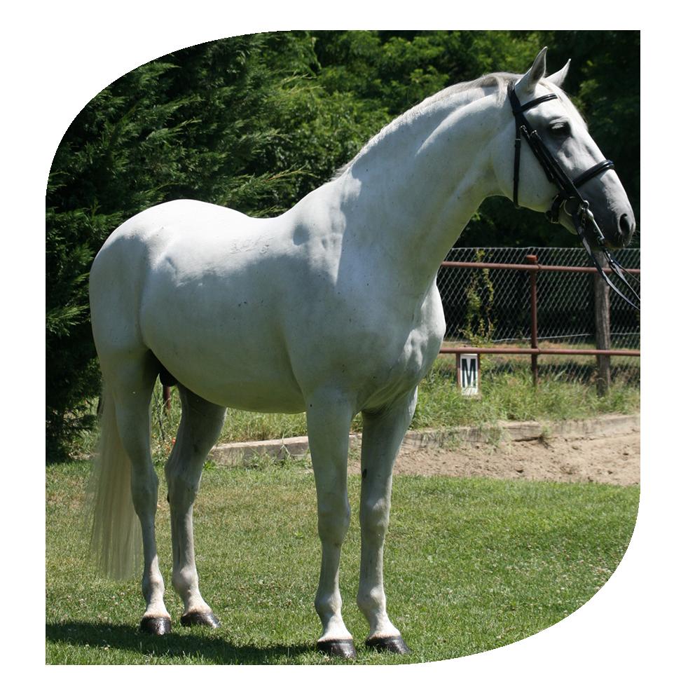 Haszonállatok ló