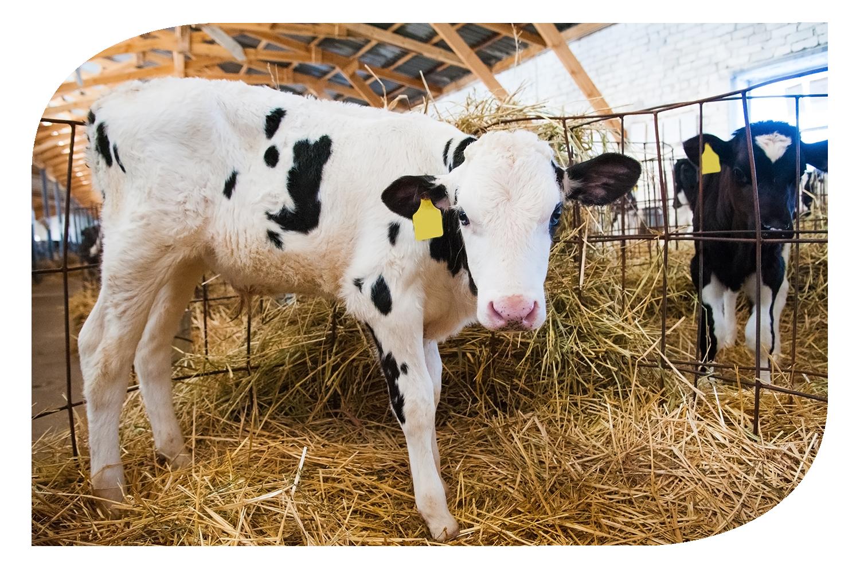 Tejelő tehén-borjú