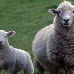 Lanbex báránytakarmányok