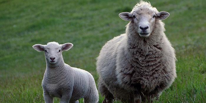 Lambex – a gazdaságos bárányhizlalás