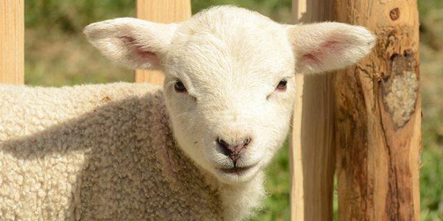 Lambex báránytakarmány