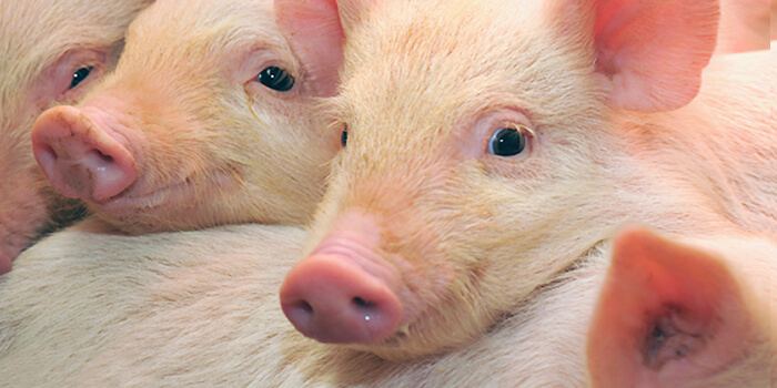Piglet rearing without zinc oxide – practical experience